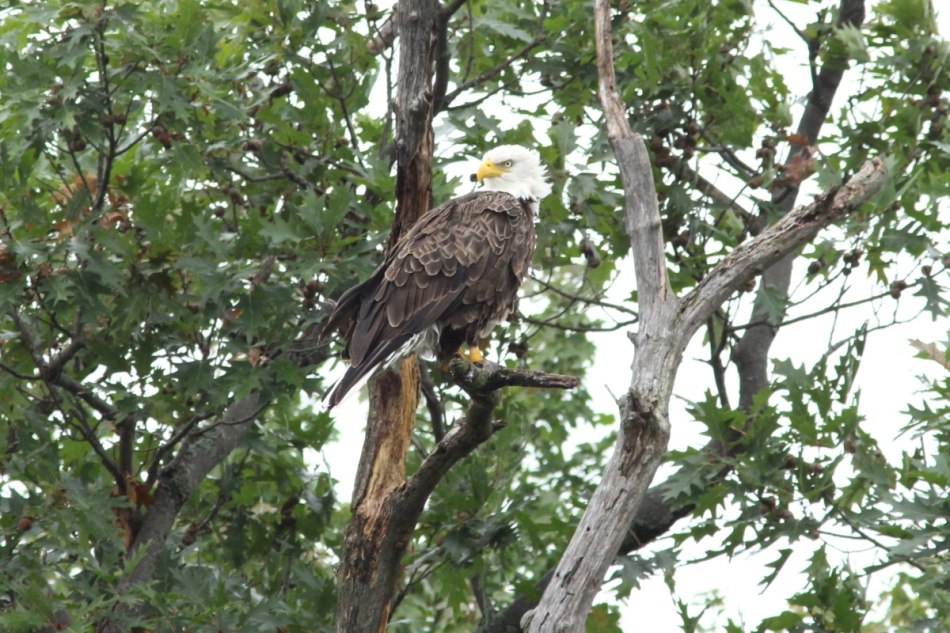 Bald eagle, not cropped
