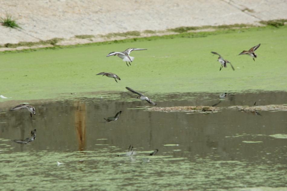 Assorted shorebirds in flight