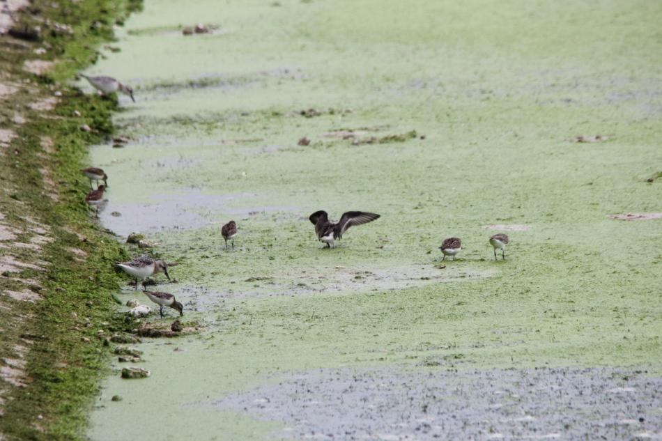 Assorted shorebirds