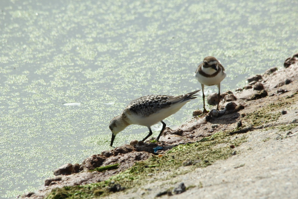 Baird's sandpiper and Semipalmated plover