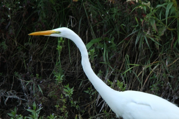 Great egret, cropped