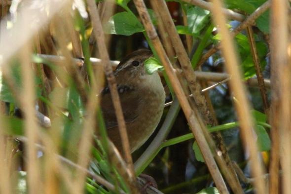 Marsh wren hiding