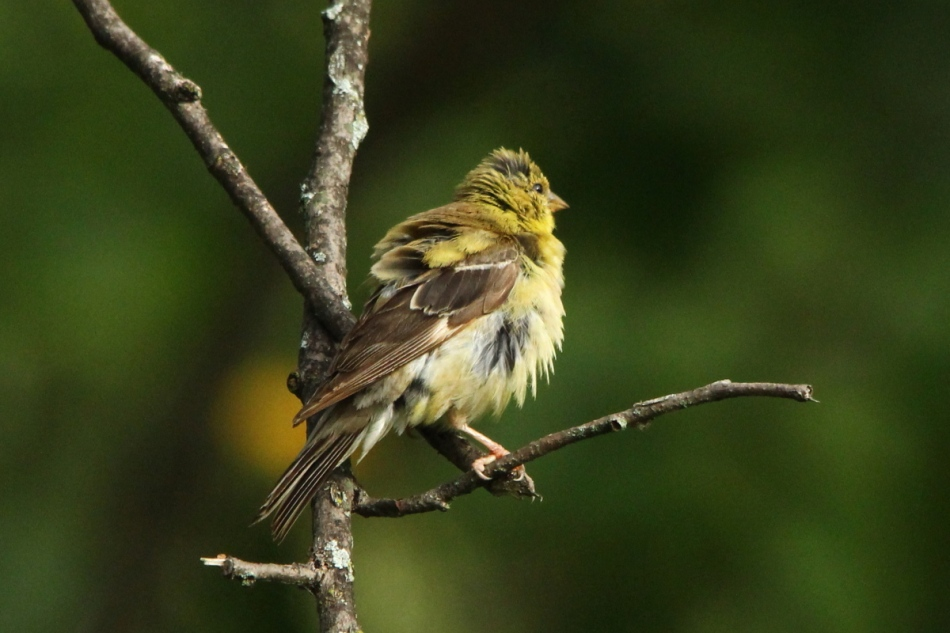 Juvenile male goldfinch