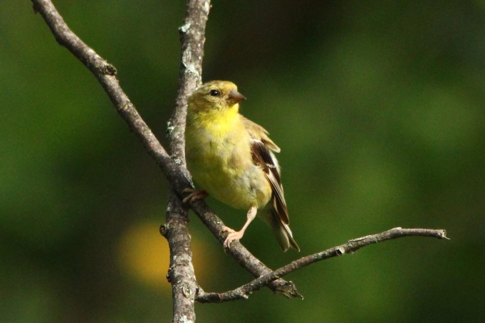 Juvenile male goldfinch