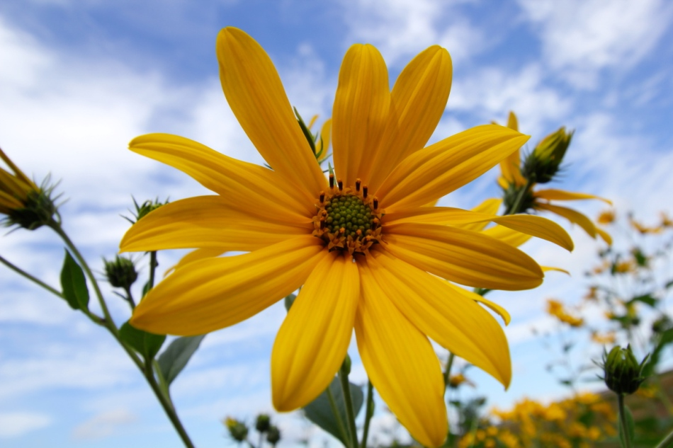 Smooth ox-eye sunflower
