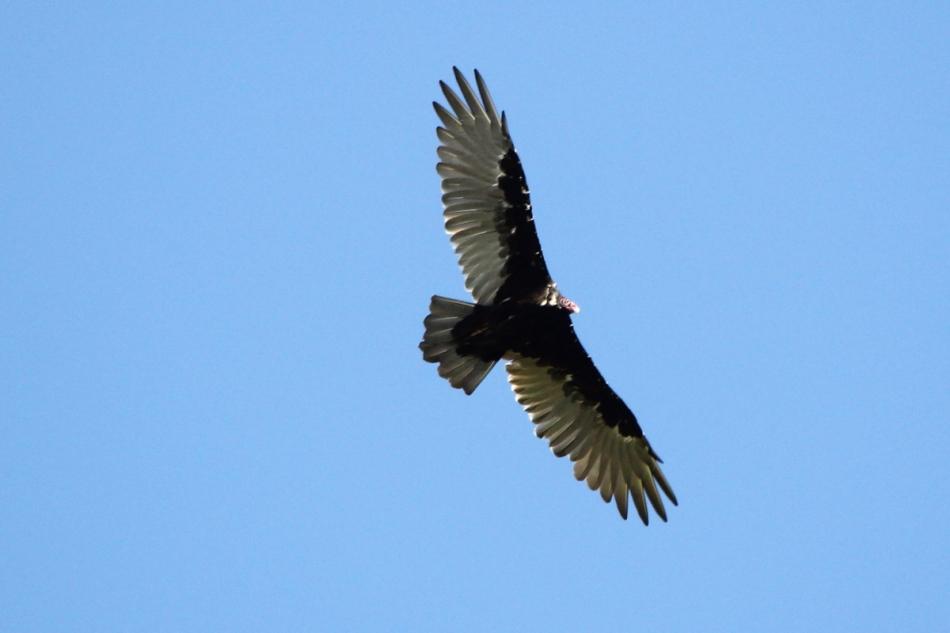 Turkey vulture in flight
