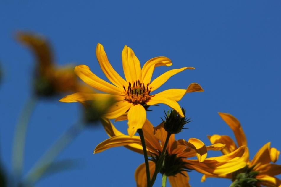Smooth ox-eye sunflower