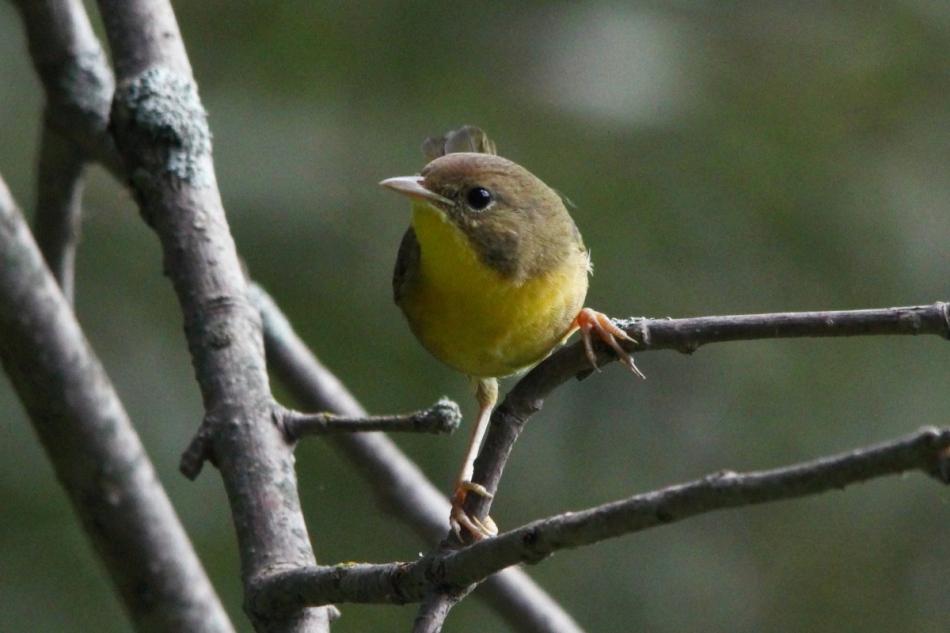 Female or juvenile common yellowthroat