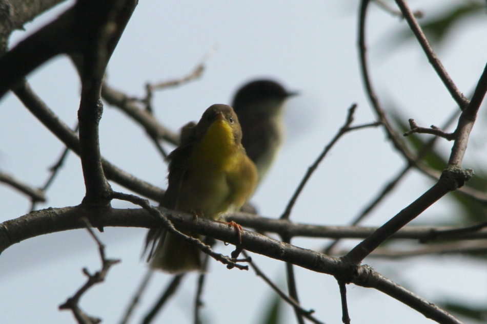 Eastern phoebe photo-bombed by a Female or juvenile common yellowthroat