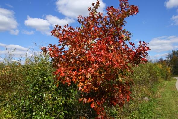 Early oak colors