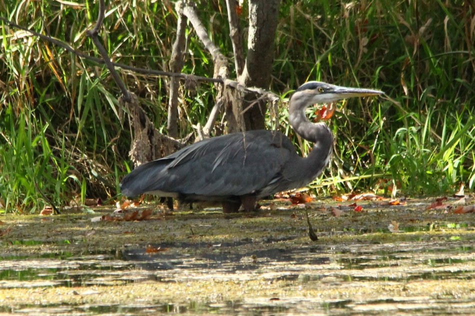 Great blue heron at Palmer Park pond