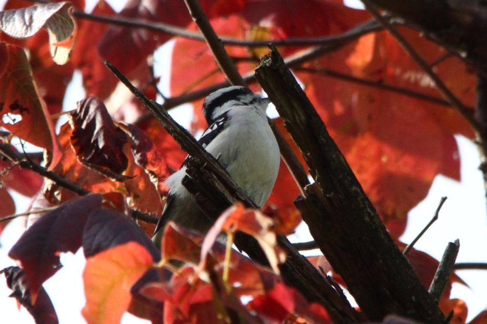 Downy woodpecker in Virginia creeper leaves