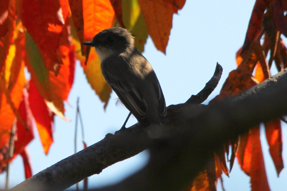 Fall flycatcher