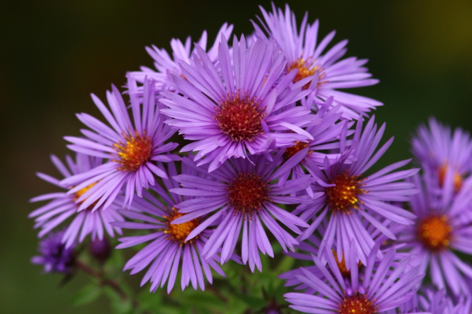 Asters