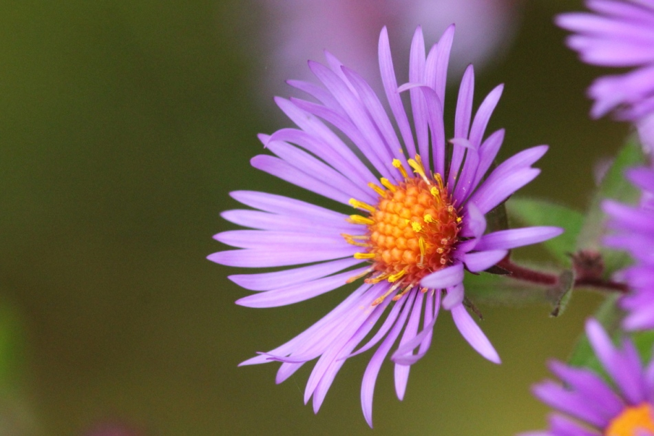 Aster, with lighting from the LED panel light