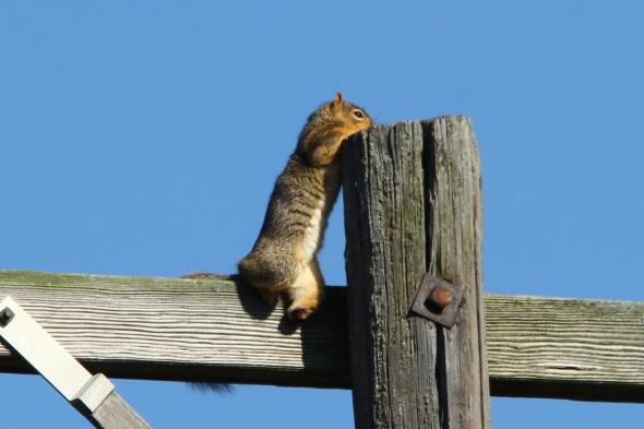 Drunken fox squirrel