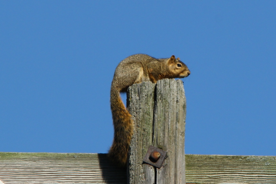 Drunken fox squirrel