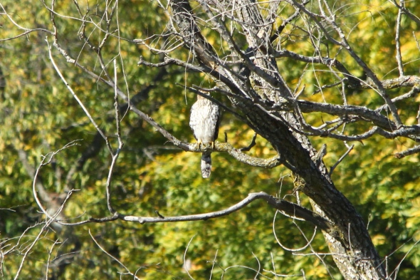 Red-tailed hawk hiding