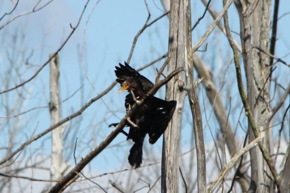 Double crested cormorant crashing