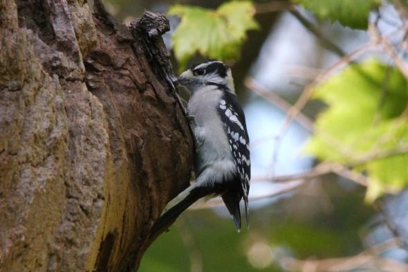 Female downy woodpecker