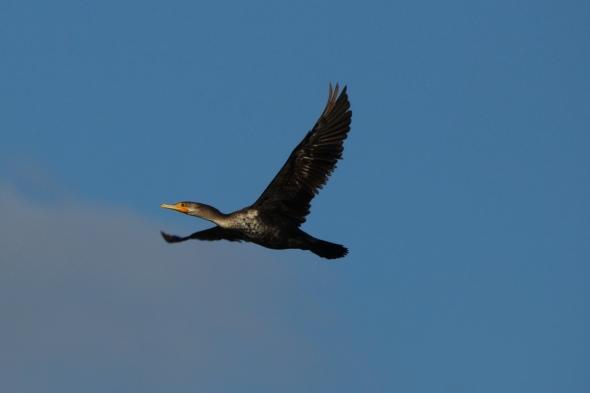 Double crested cormorant in flight