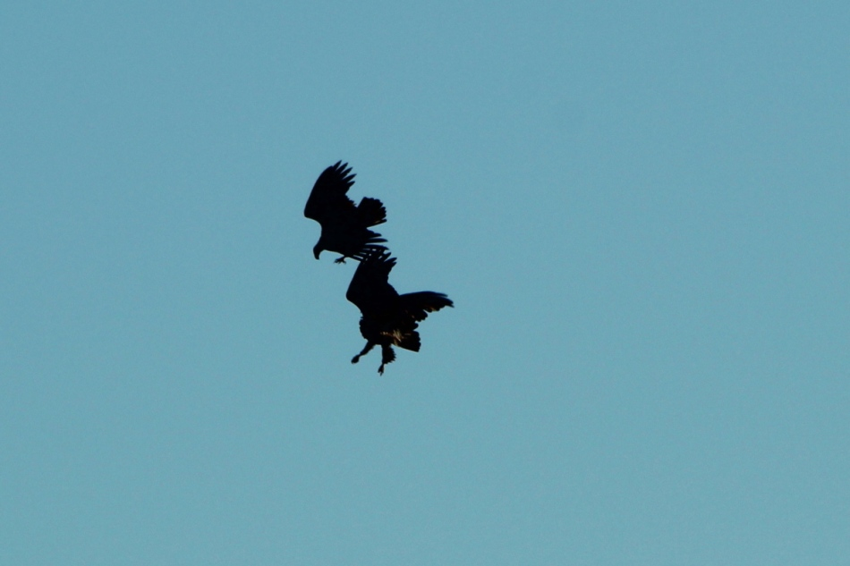 Juvenile bald eagles fighting in flight