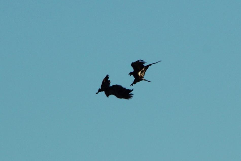 Juvenile bald eagles fighting in flight