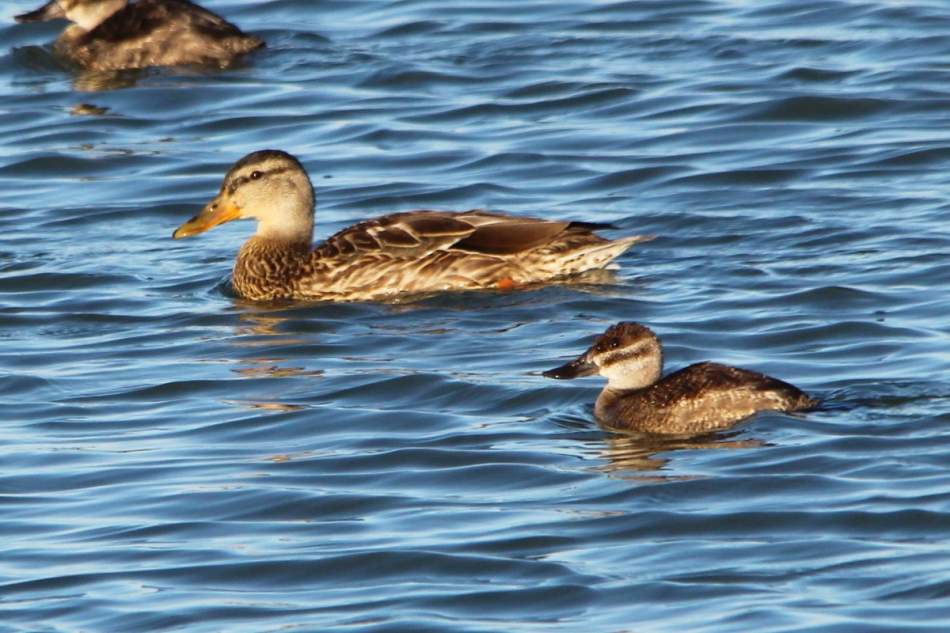 Female ruddy and mallard ducks