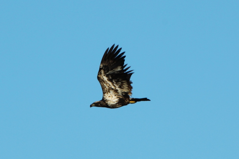 Juvenile bald eagle in flight