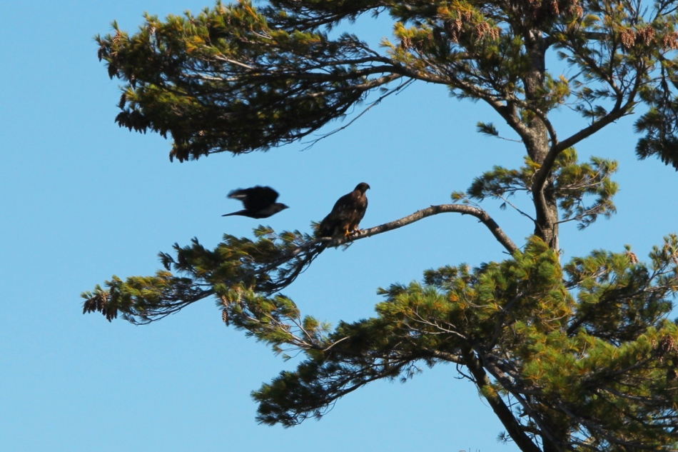 American crow flying past a juvenile bald eagle