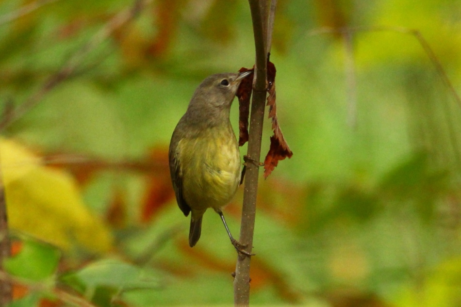 Orange crowned warbler