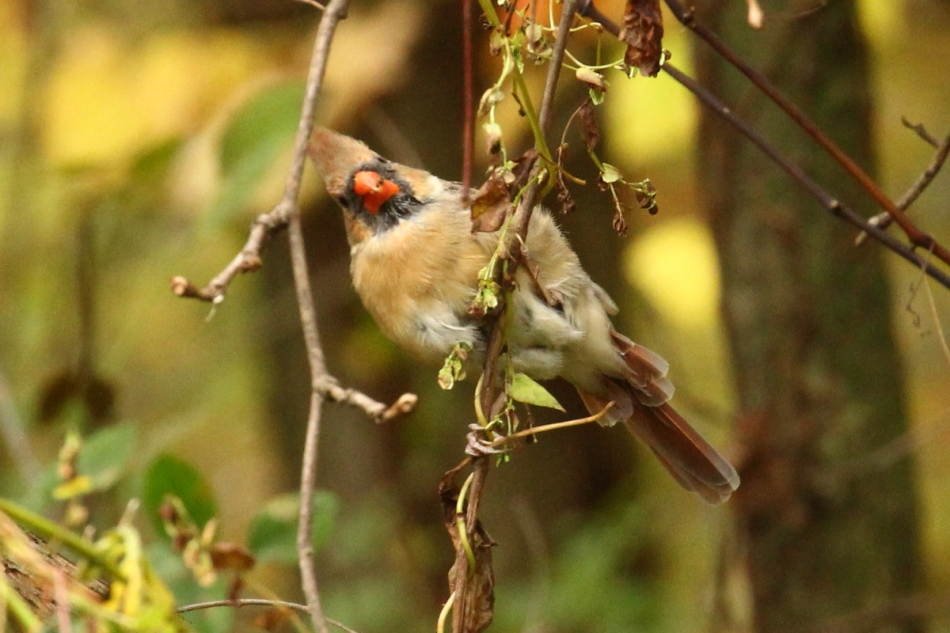 Goofy female northern cardinal