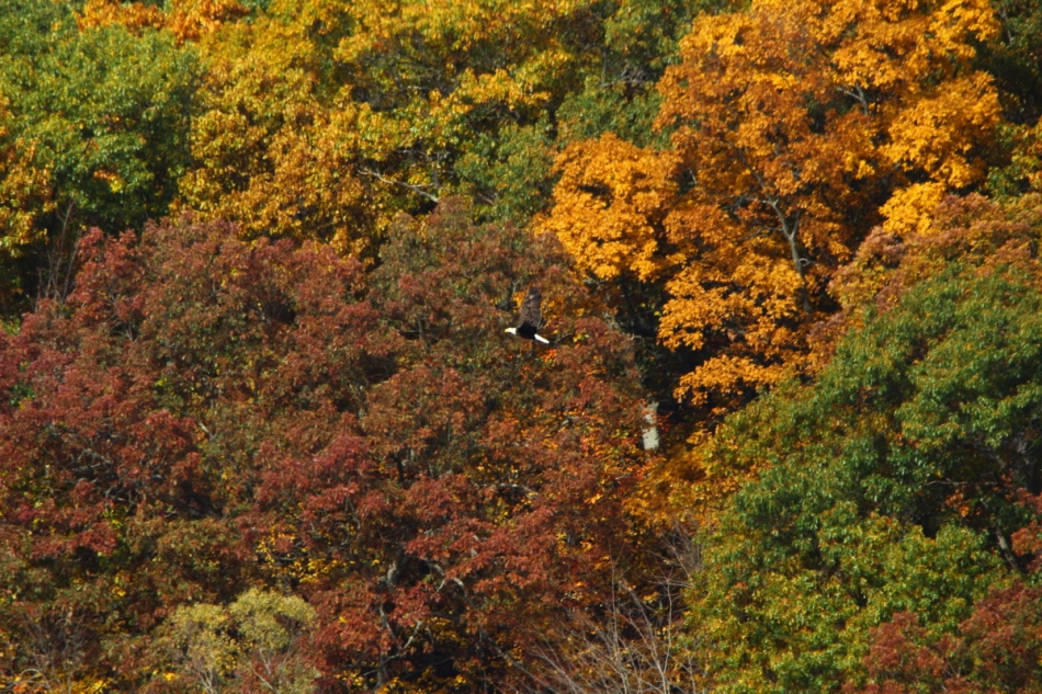 Bald eagle in the fall