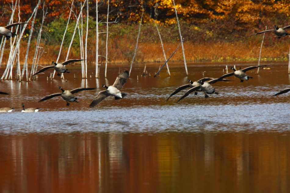 Canada geese in the fall