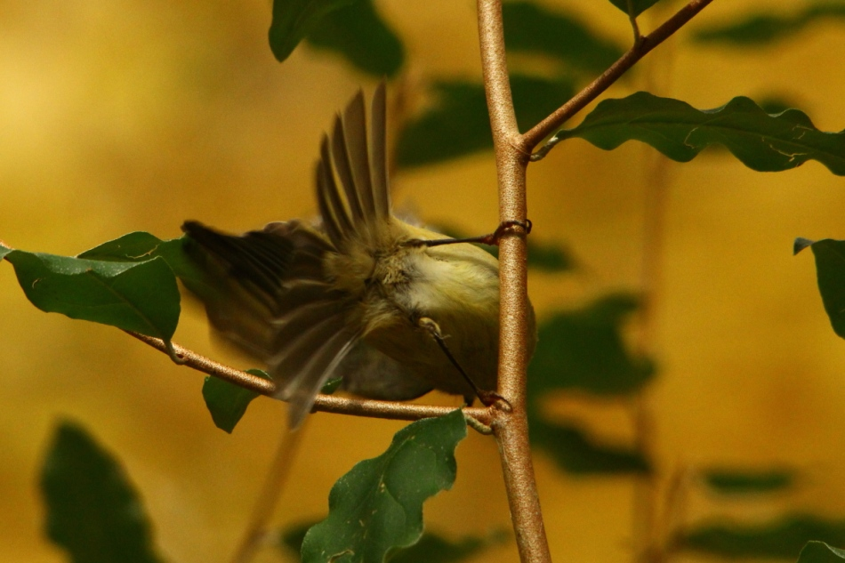 Male ruby-crowned kinglet's butt