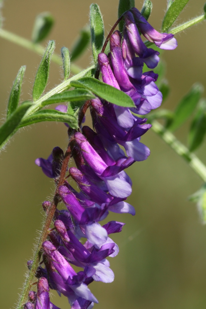 Hairy or cow vetch?
