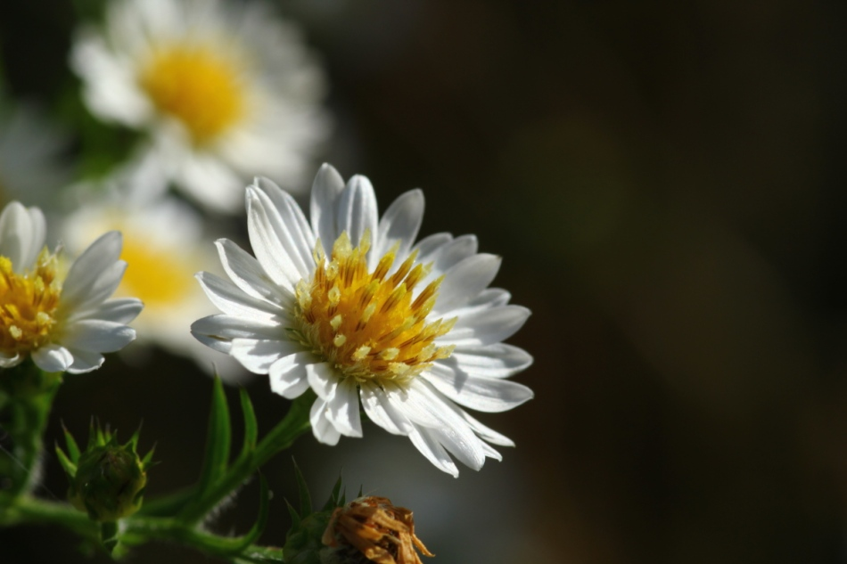 White daisy or aster?