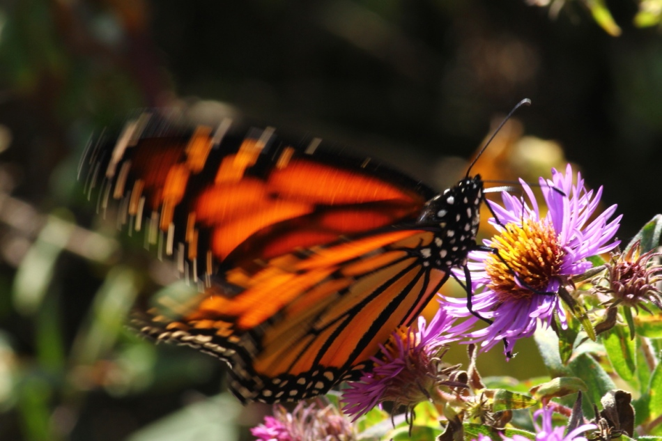 Monarch butterfly fighting the wind