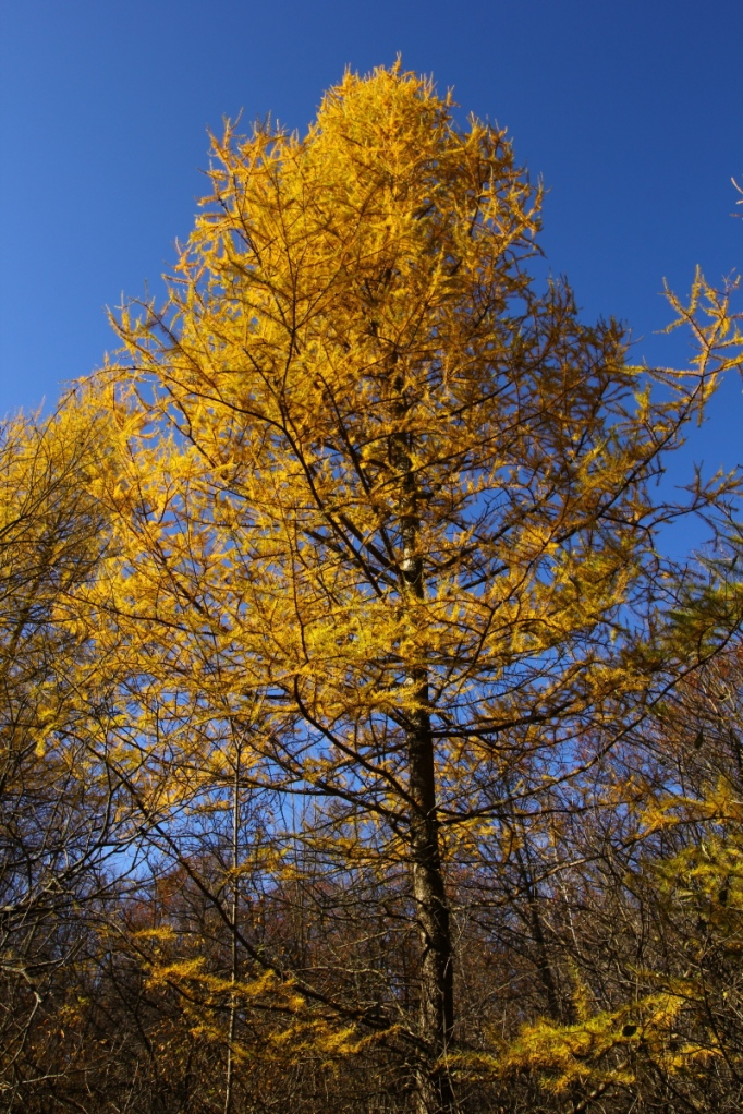 Autumn larch 2