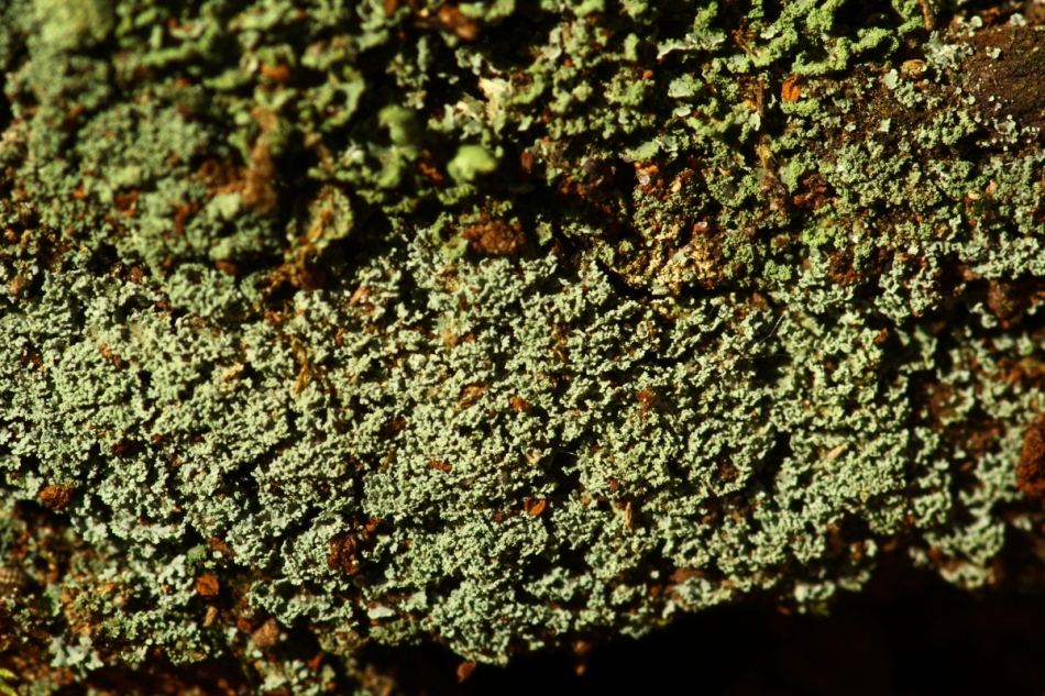 Unidentified lichens