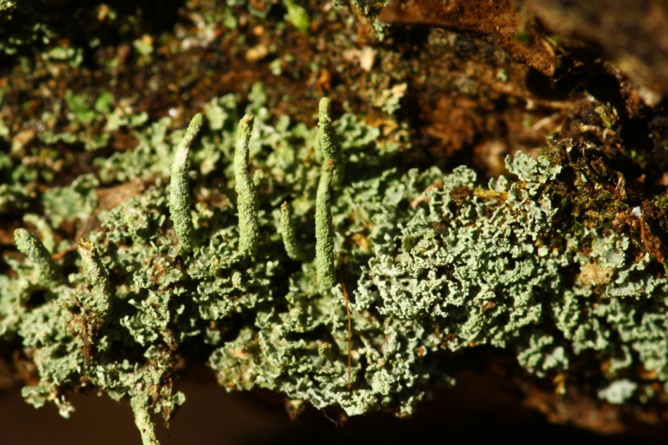 Unidentified lichens 2