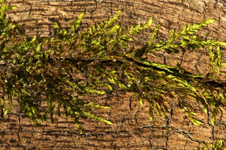 Moss? on a log