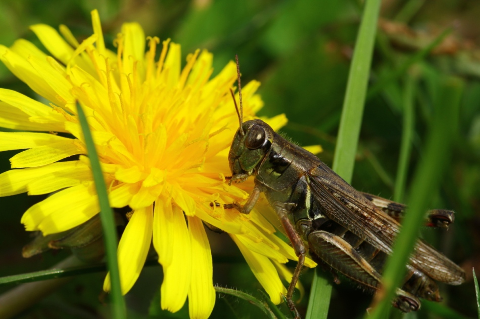 Grasshopper and dandelion