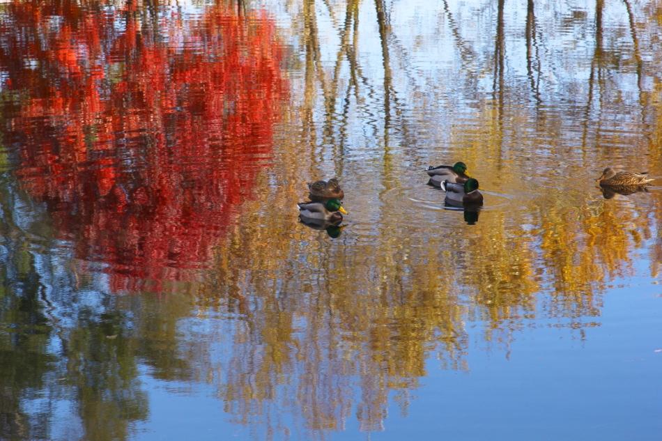 Fall Mallards