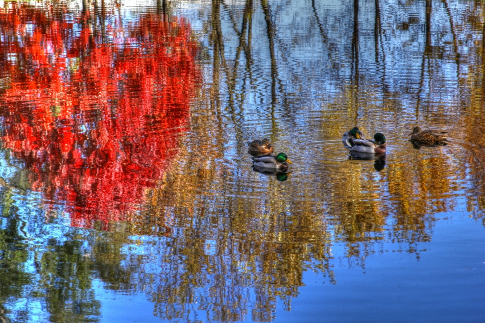 Fall Mallards in HDR