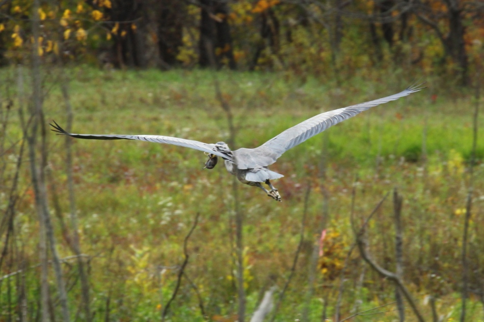 Great blue heron in flight carrying a vole