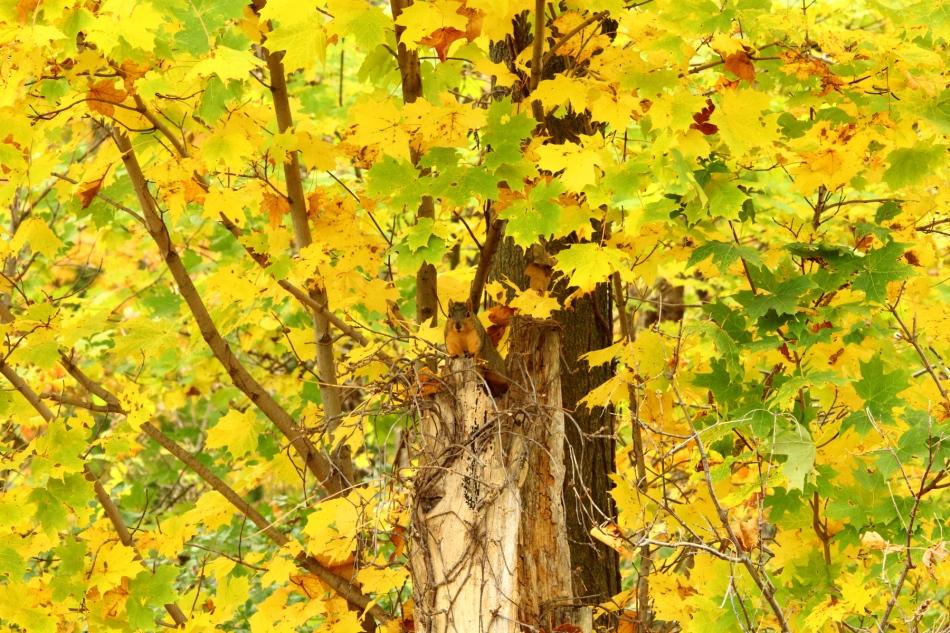 Fall fox squirrel