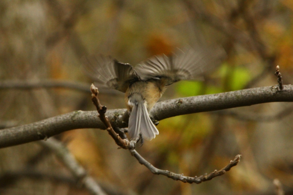 Black-capped chickadee take-off