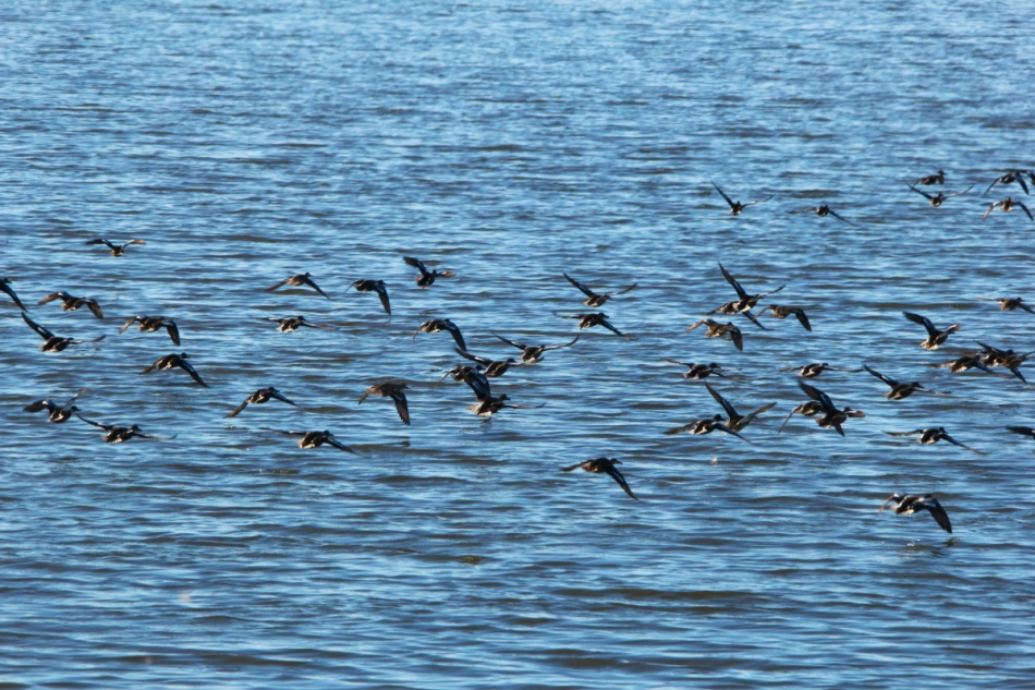 Many mallards in flight