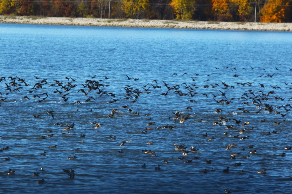 Many mallards flying over northern shovelers